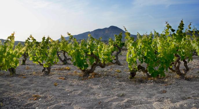 Viñas de moscatell