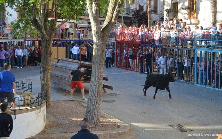Bous al carrer en la Placeta del Convent de Jávea