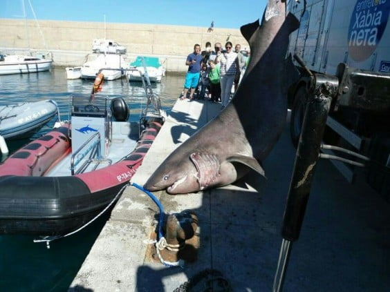 Tiburón en Jávea 01