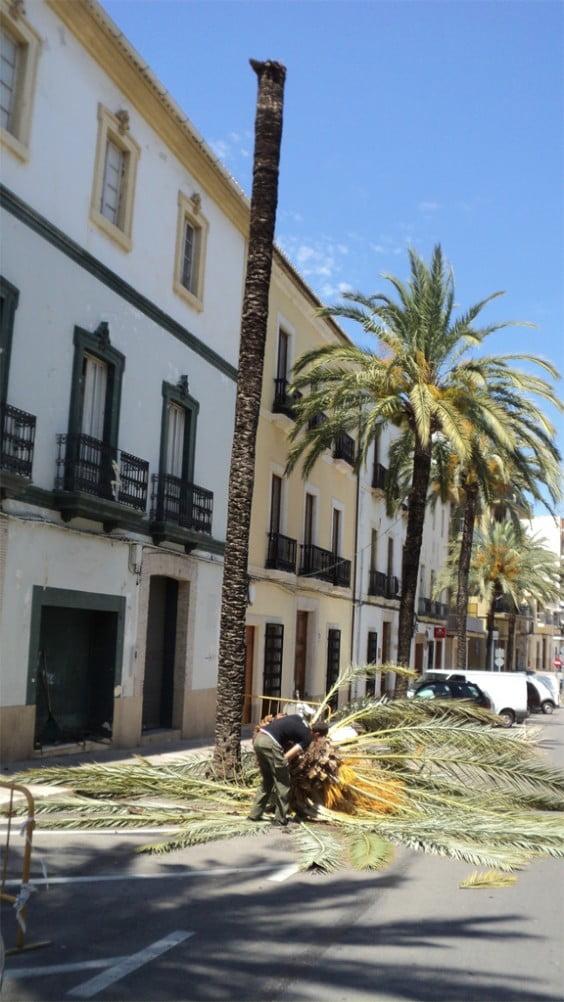 Palmera afectada por el picudo rojo en la avenida de Alicante de Jávea