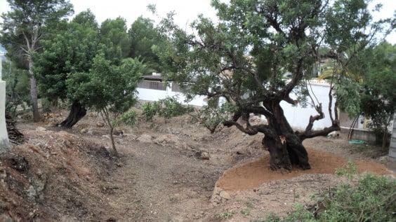 Se ha encontrado un algarrobo de unos 200 años gracias a la limpieza de matorrales