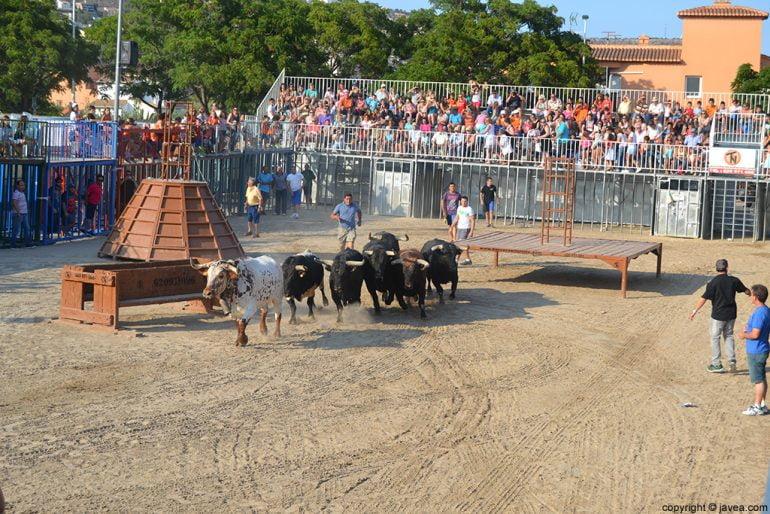 Entrada de bous al carrer en las fiestas de Fogueres de Xàbia