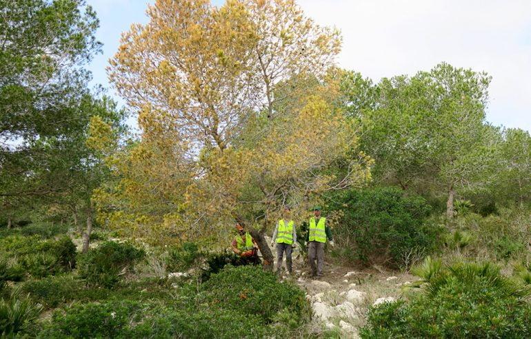 Brigadas municipales cortando pinos en la Granadella