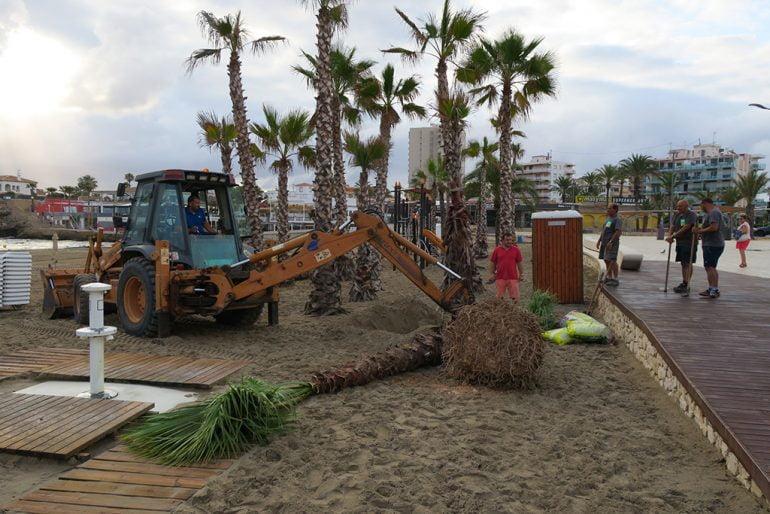 Plantación de palmeras en la playa del Arenal