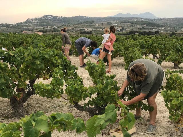 Los participantes en la ruta recolectan su propia uva