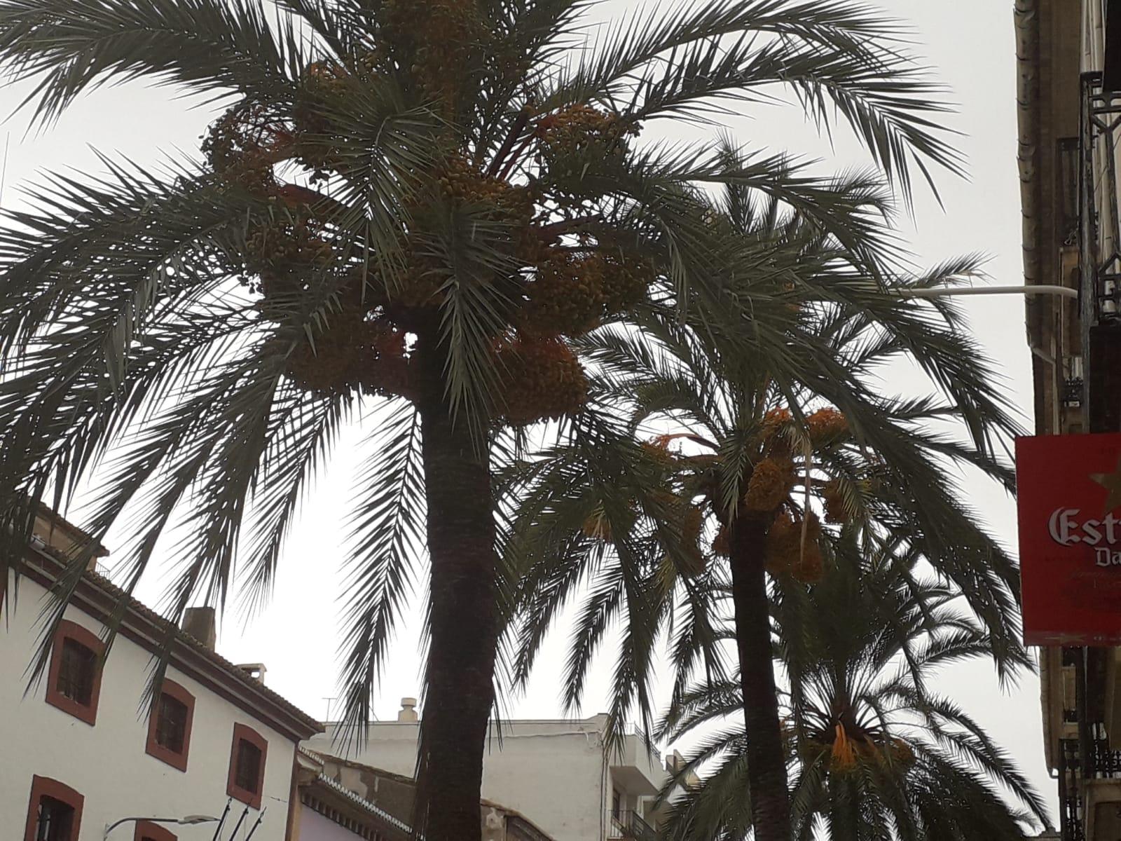 Palmeras de la Avenida Alicante