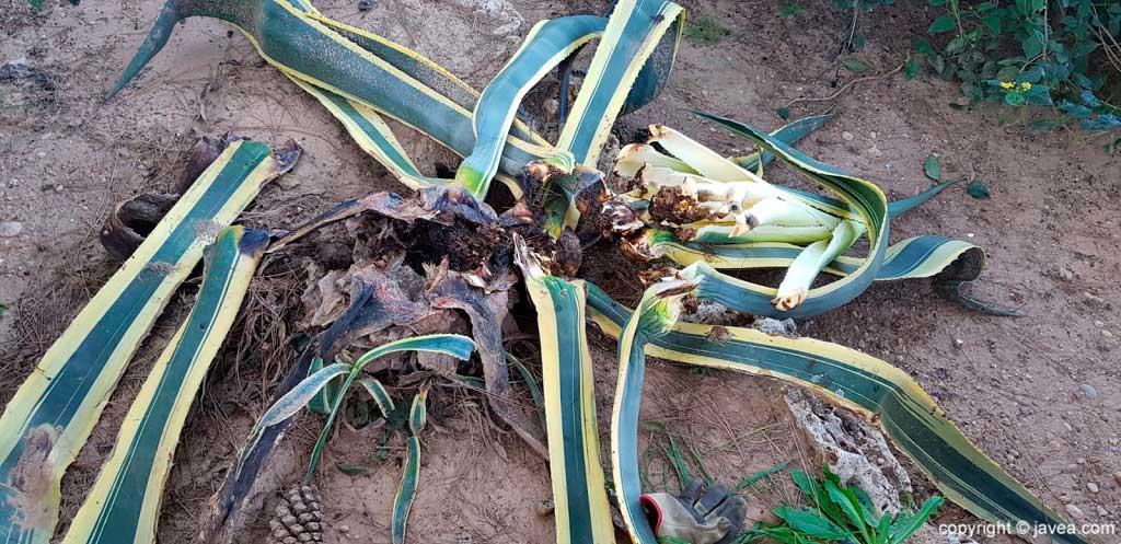 Planta afectada picudo negro ServiGardens