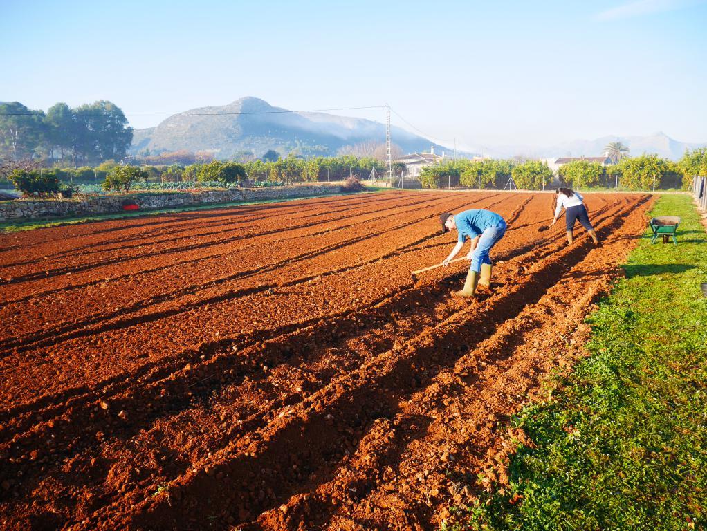 Coltivazione di patate solidali a Pedreguer