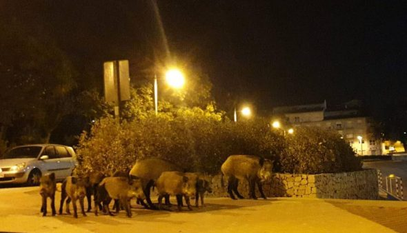 Image: Group of wild boars in Constitution Square