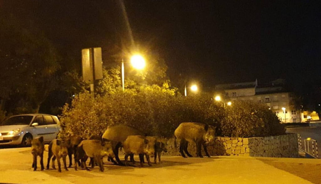 Group of wild boars in Constitution Square