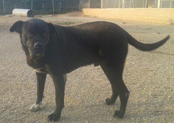 Imagen: Mark, perro en adopción de APASA
