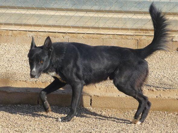 Imagen: Sultán, perro en adopción en APASA