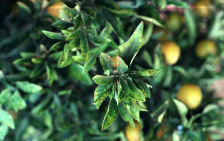Árbol afectado por la Xylella