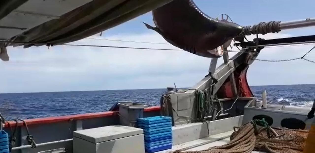 Captura de un tiburón por el pesquero Cap Prim Segon de Xàbia