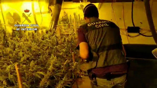 Imagen: Plantación de marihuana