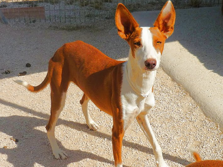 Piri A Podenco That Is In The Apasa Facilities For Adoption Javea Com Xabia Com
