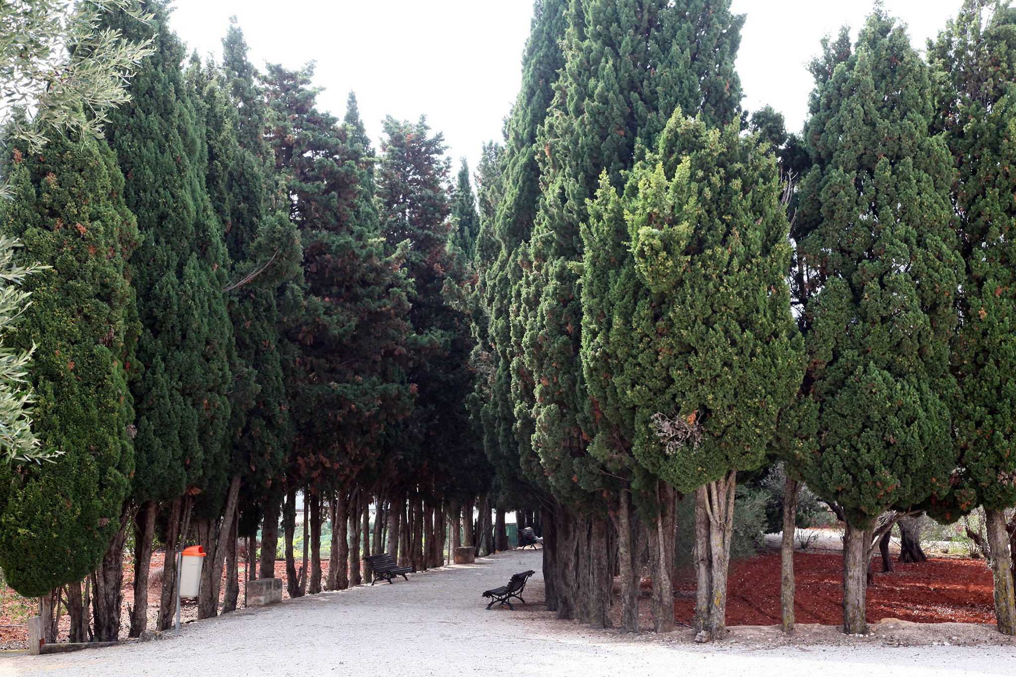 Cipreses en el exterior del Santuari de la Mare de Déu dels Àngels de Xàbia