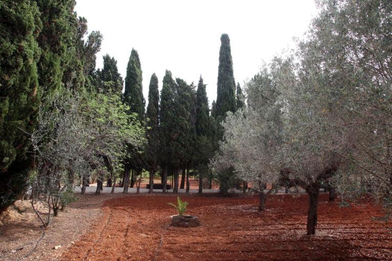 Olivos y cipreses en el Monestir de la Plana de Xàbia