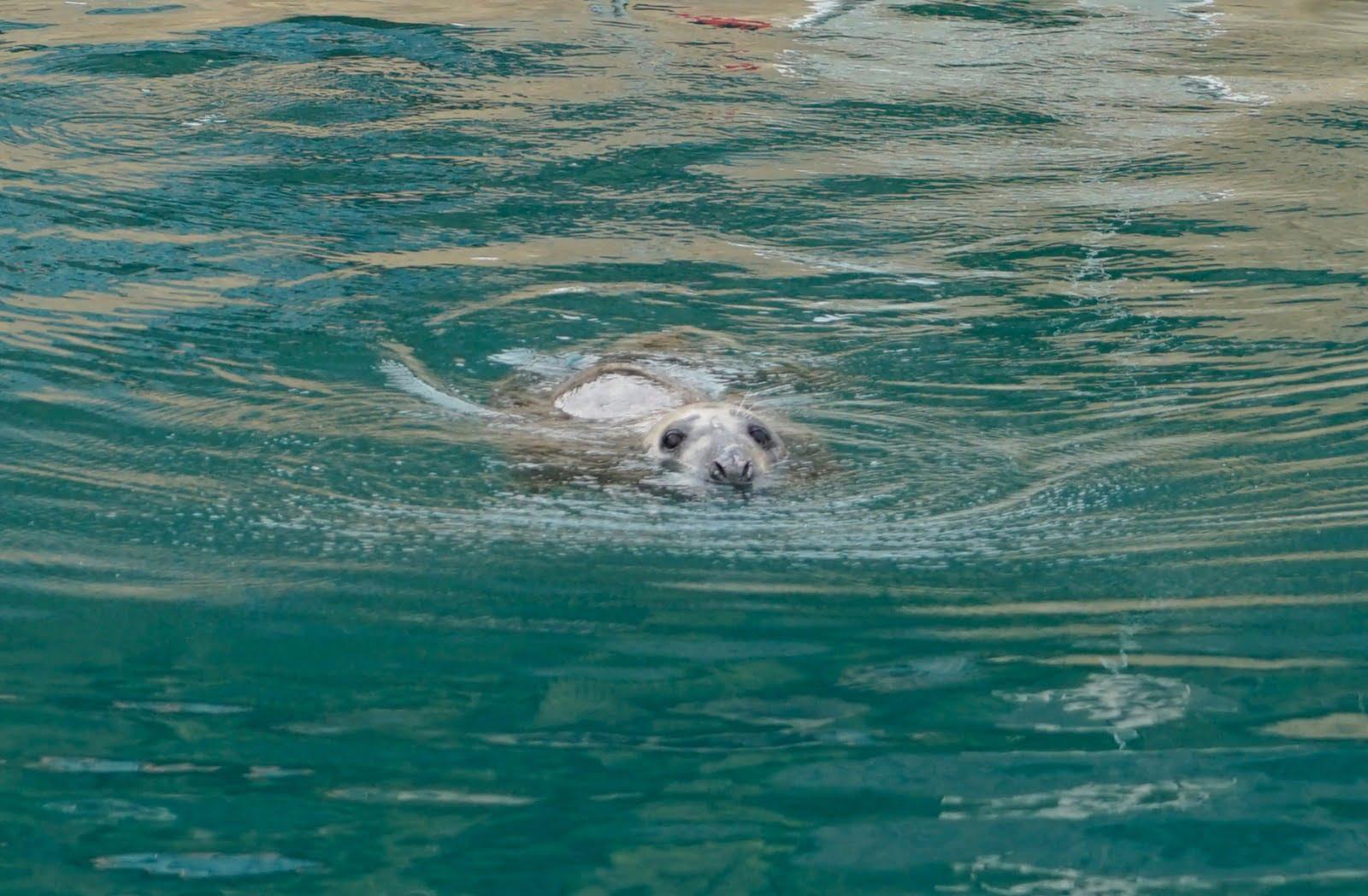Foca gris en aguas del mediterráneo
