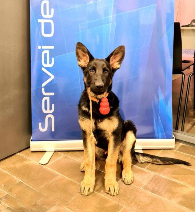 Imagen: Kosmo, primer perro policía de Xàbia