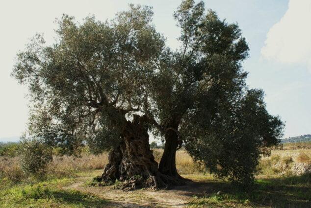 Imagen: La Olivera Milenaria data del año 1023