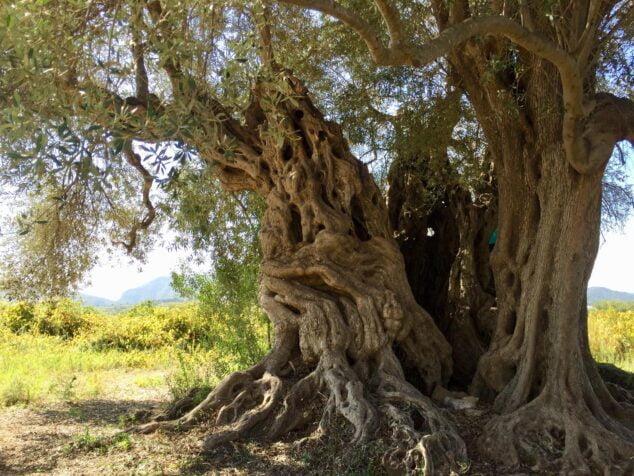 Imagen: Tronco del olivo milenario de Xàbia