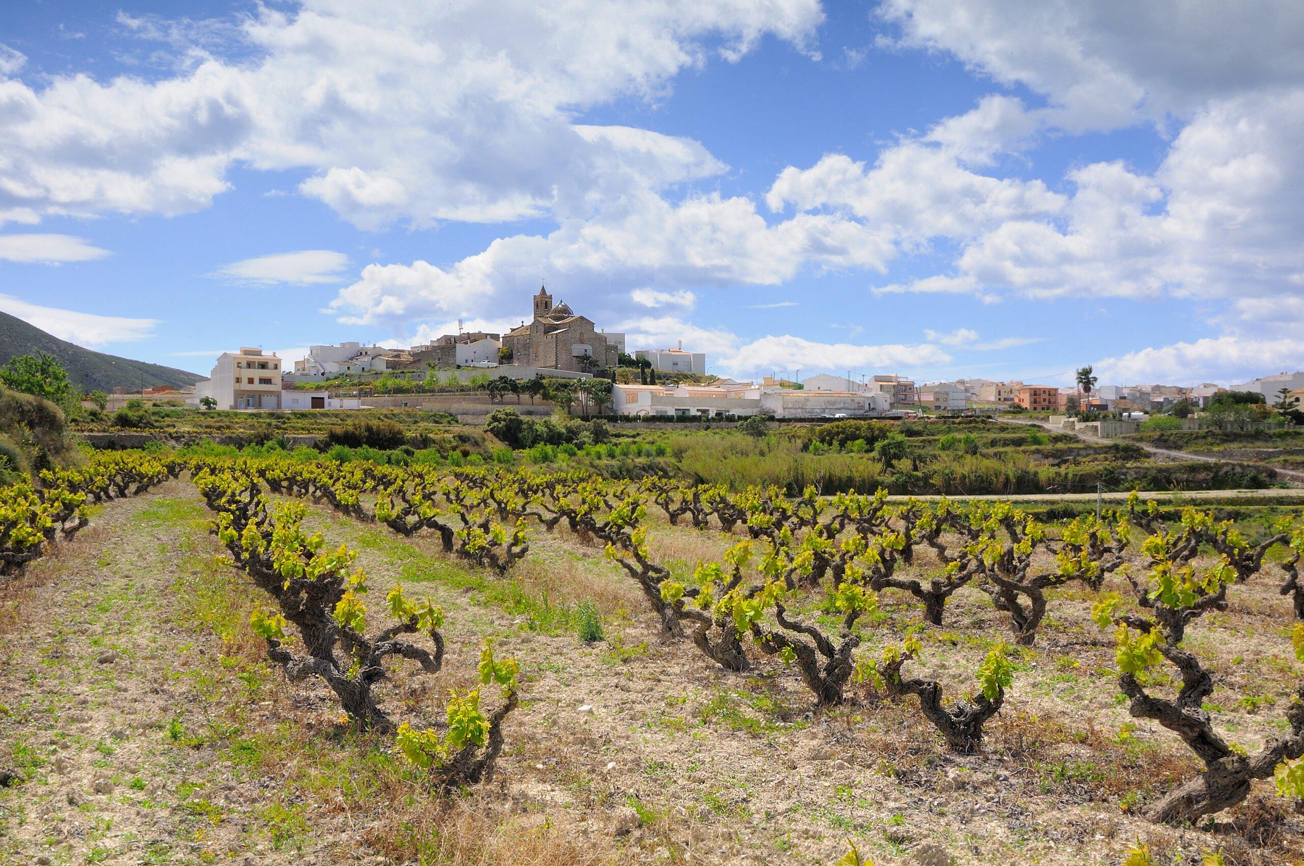 Campo de viñas en El Poble Nou de Benitatxell