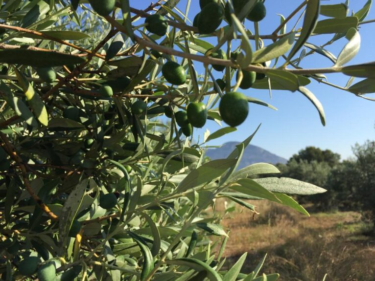 La aceituna del Oli de Xàbia