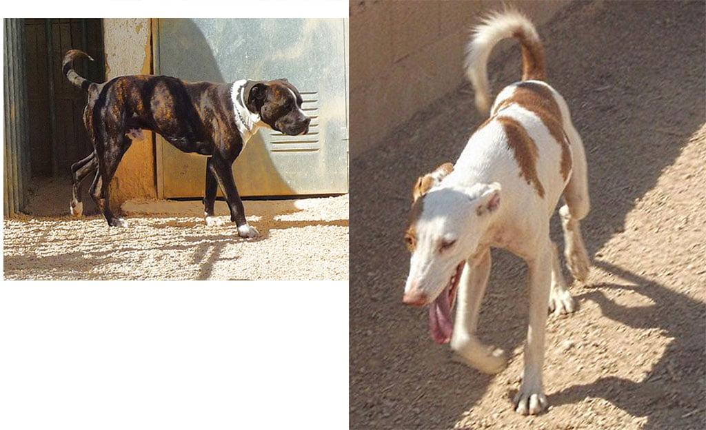 Perros en adopción en APASA